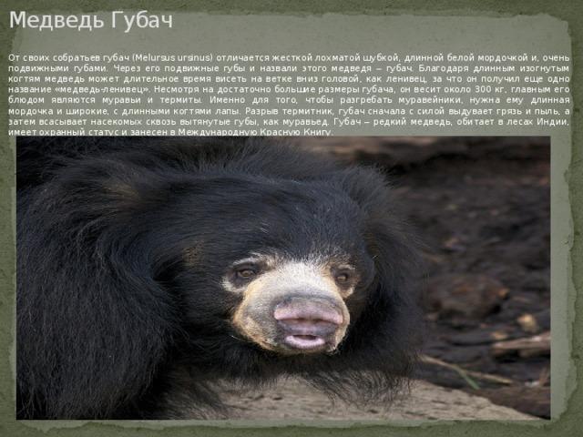 Медведь Губач От своих собратьев губач (Melursus ursinus) отличается жесткой лохматой шубкой, длинной белой мордочкой и, очень подвижными губами. Через его подвижные губы и назвали этого медведя ‒ губач. Благодаря длинным изогнутым когтям медведь может длительное время висеть на ветке вниз головой, как ленивец, за что он получил еще одно название «медведь-ленивец». Несмотря на достаточно большие размеры губача, он весит около 300 кг, главным его блюдом являются муравьи и термиты. Именно для того, чтобы разгребать муравейники, нужна ему длинная мордочка и широкие, с длинными когтями лапы. Разрыв термитник, губач сначала с силой выдувает грязь и пыль, а затем всасывает насекомых сквозь вытянутые губы, как муравьед. Губач ‒ редкий медведь, обитает в лесах Индии, имеет охранный статус и занесен в Международную Красную Книгу.