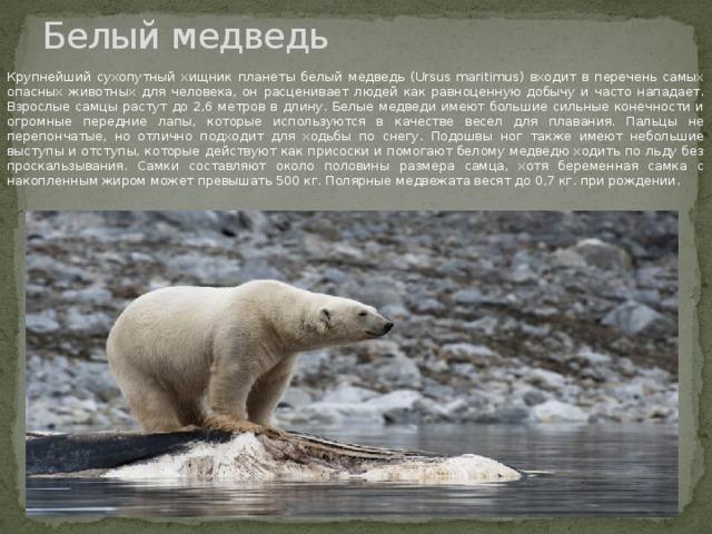 Белый медведь Крупнейший сухопутный хищник планеты белый медведь (Ursus maritimus) входит в перечень самых опасных животных для человека, он расценивает людей как равноценную добычу и часто нападает. Взрослые самцы растут до 2,6 метров в длину. Белые медведи имеют большие сильные конечности и огромные передние лапы, которые используются в качестве весел для плавания. Пальцы не перепончатые, но отлично подходит для ходьбы по снегу. Подошвы ног также имеют небольшие выступы и отступы, которые действуют как присоски и помогают белому медведю ходить по льду без проскальзывания. Самки составляют около половины размера самца, хотя беременная самка с накопленным жиром может превышать 500 кг. Полярные медвежата весят до 0,7 кг. при рождении.