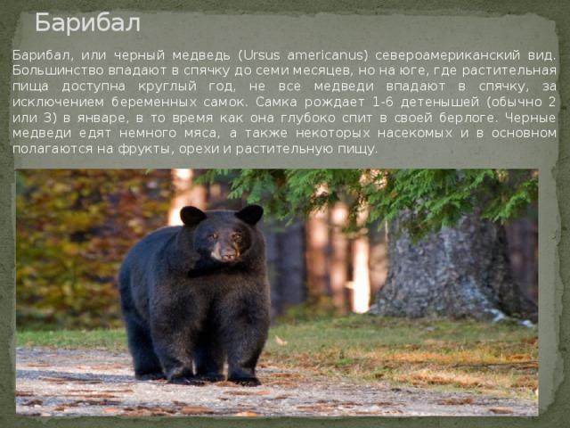 Барибал Барибал, или черный медведь (Ursus americanus) североамериканский вид. Большинство впадают в спячку до семи месяцев, но на юге, где растительная пища доступна круглый год, не все медведи впадают в спячку, за исключением беременных самок. Самка рождает 1-6 детенышей (обычно 2 или 3) в январе, в то время как она глубоко спит в своей берлоге. Черные медведи едят немного мяса, а также некоторых насекомых и в основном полагаются на фрукты, орехи и растительную пищу.