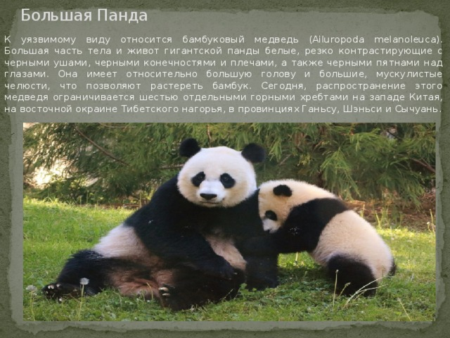 Большая Панда К уязвимому виду относится бамбуковый медведь (Ailuropoda melanoleuca). Большая часть тела и живот гигантской панды белые, резко контрастирующие с черными ушами, черными конечностями и плечами, а также черными пятнами над глазами. Она имеет относительно большую голову и большие, мускулистые челюсти, что позволяют растереть бамбук. Сегодня, распространение этого медведя ограничивается шестью отдельными горными хребтами на западе Китая, на восточной окраине Тибетского нагорья, в провинциях Ганьсу, Шэньси и Сычуань.