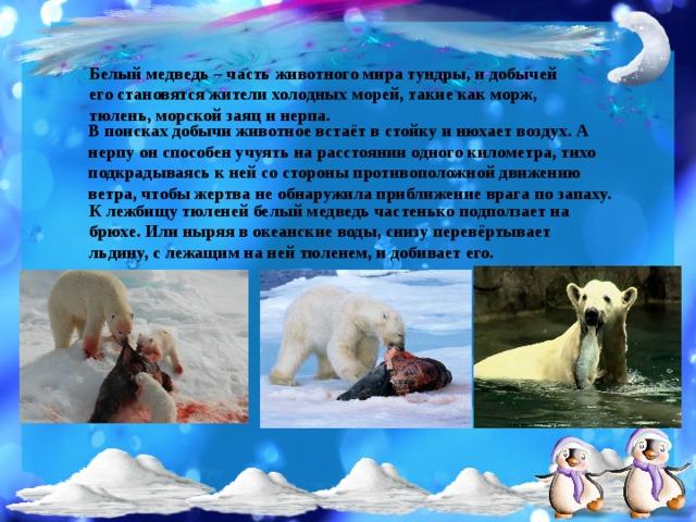 Белый медведь – часть животного мира тундры, и добычей его становятся жители холодных морей, такие как морж, тюлень, морской заяц и нерпа.  В поисках добычи животное встаёт в стойку и нюхает воздух. А нерпу он способен учуять на расстоянии одного километра, тихо подкрадываясь к ней со стороны противоположной движению ветра, чтобы жертва не обнаружила приближение врага по запаху.   К лежбищу тюленей белый медведь частенько подползает на брюхе. Или ныряя в океанские воды, снизу перевёртывает льдину, с лежащим на ней тюленем, и добивает его.