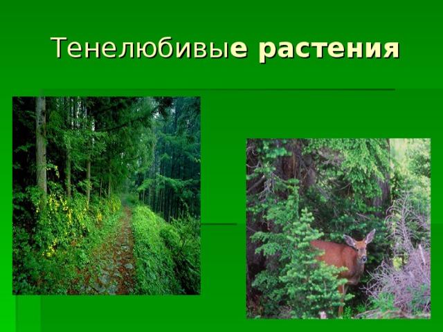 Тенелюбивы е растения