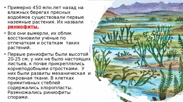 Примерно 450 млн.лет назад на влажных берегах пресных водоёмов существовали первые наземные растения. Их назвали риниофиты.