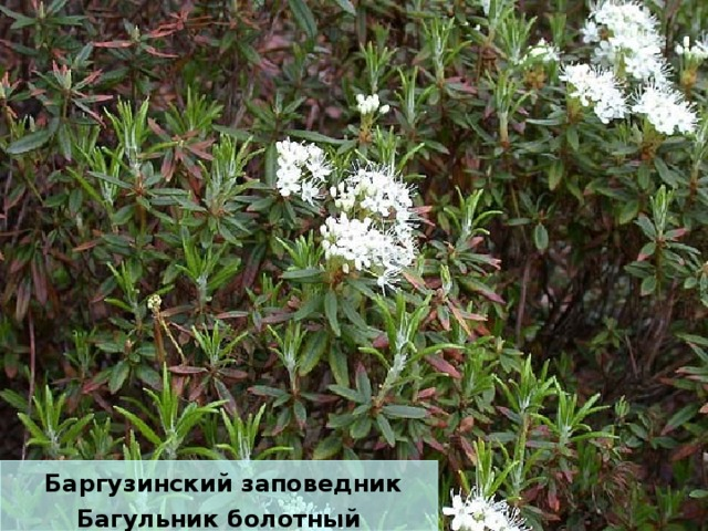 Баргузинский заповедник Багульник болотный