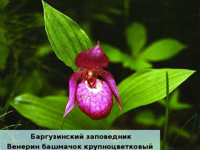Баргузинский заповедник Венерин башмачок крупноцветковый
