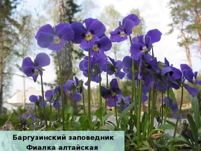Баргузинский заповедник Фиалка алтайская