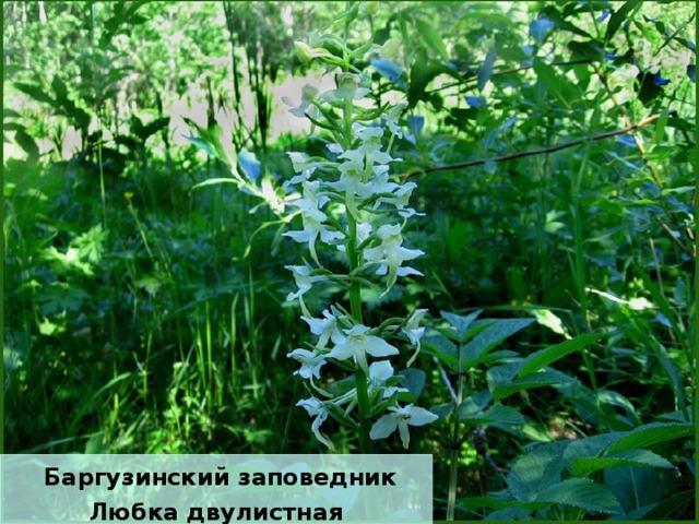 Баргузинский заповедник Любка двулистная