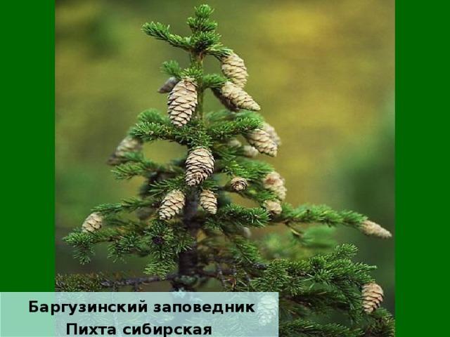 Баргузинский заповедник Пихта сибирская