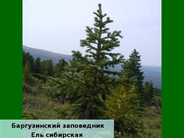 Баргузинский заповедник Ель сибирская