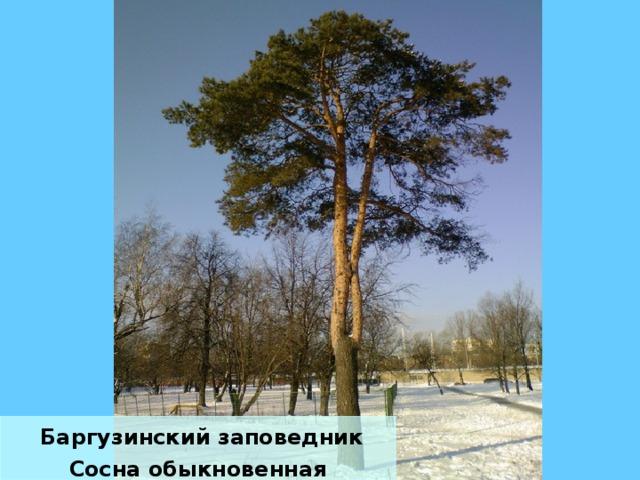 Баргузинский заповедник Сосна обыкновенная