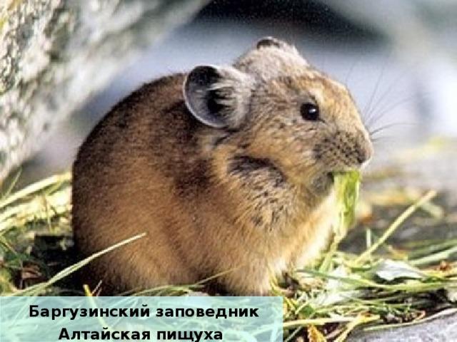 Баргузинский заповедник Алтайская пищуха