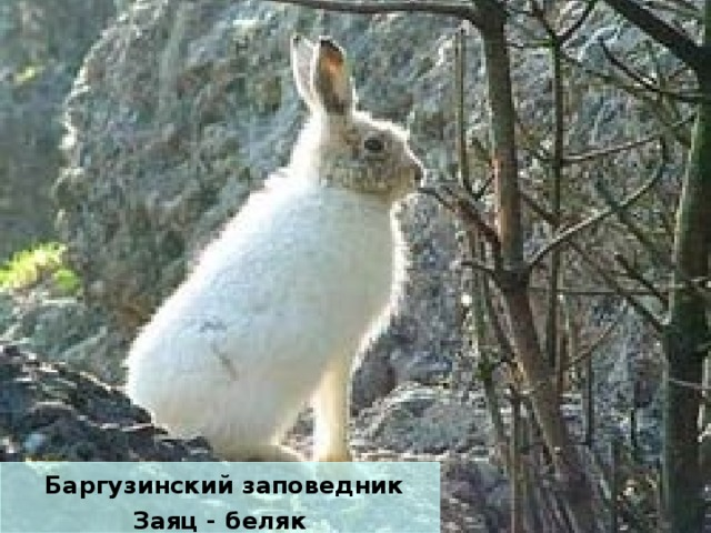 Баргузинский заповедник Заяц - беляк