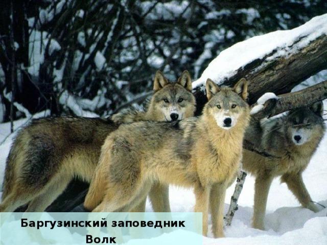 Баргузинский заповедник Волк