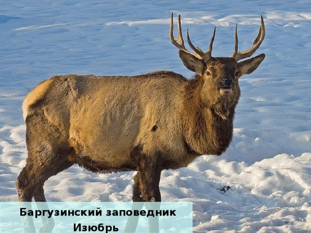 Баргузинский заповедник Изюбрь