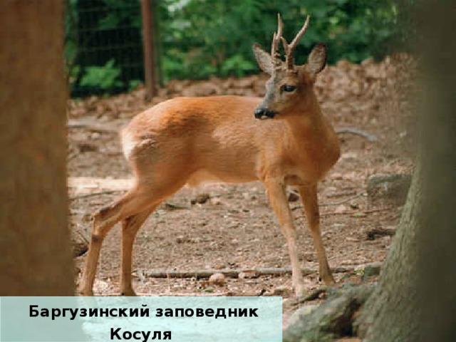 Баргузинский заповедник Косуля