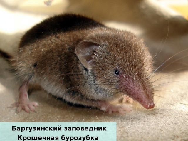 Баргузинский заповедник Крошечная бурозубка