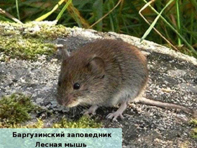 Баргузинский заповедник Лесная мышь