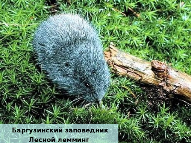 Баргузинский заповедник Лесной лемминг