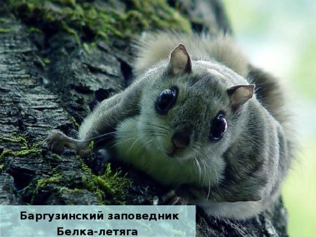 Баргузинский заповедник Белка-летяга