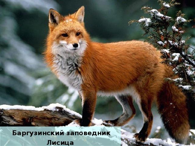 Баргузинский заповедник Лисица