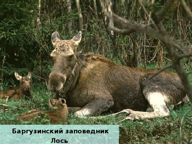 Баргузинский заповедник Лось