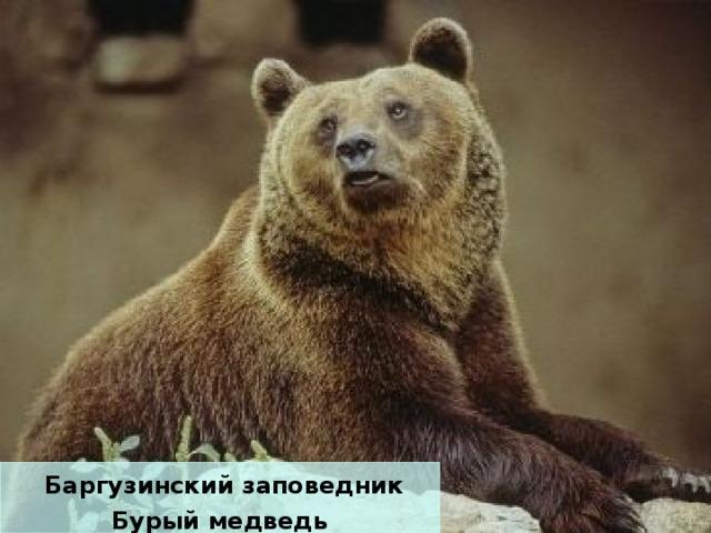 Баргузинский заповедник Бурый медведь
