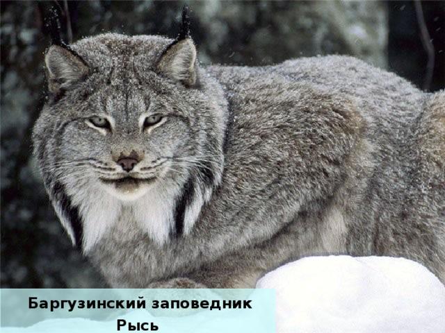 Баргузинский заповедник Рысь