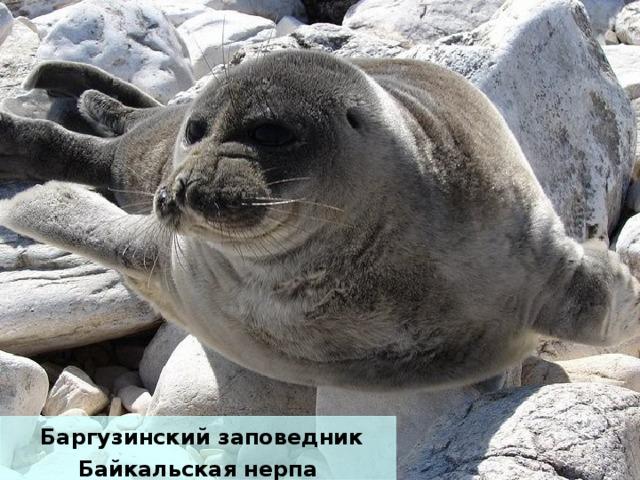 Баргузинский заповедник Байкальская нерпа
