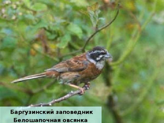 Баргузинский заповедник Белошапочная овсянка