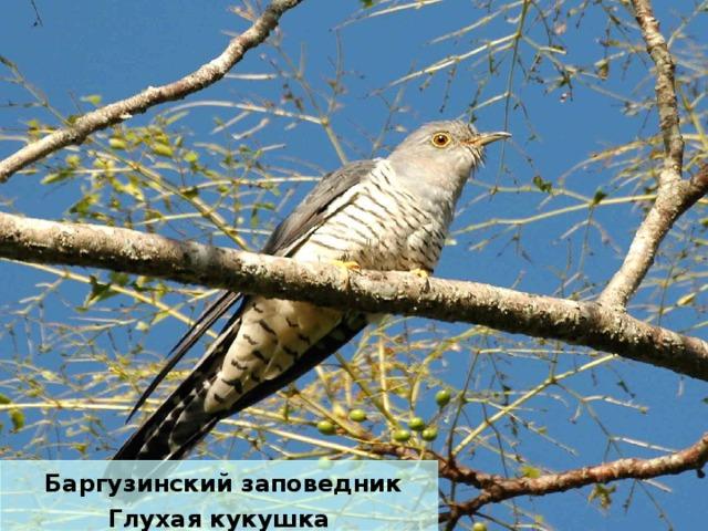 Баргузинский заповедник Глухая кукушка