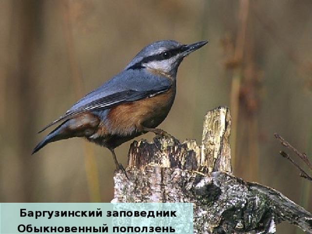 Баргузинский заповедник Обыкновенный поползень