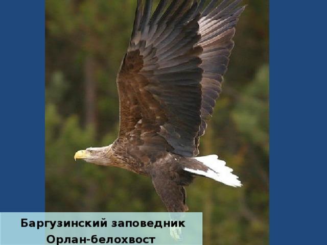 Баргузинский заповедник Орлан-белохвост