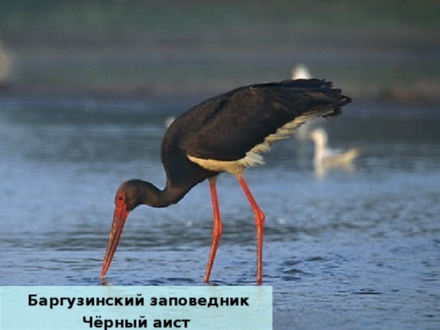 Баргузинский заповедник Чёрный аист