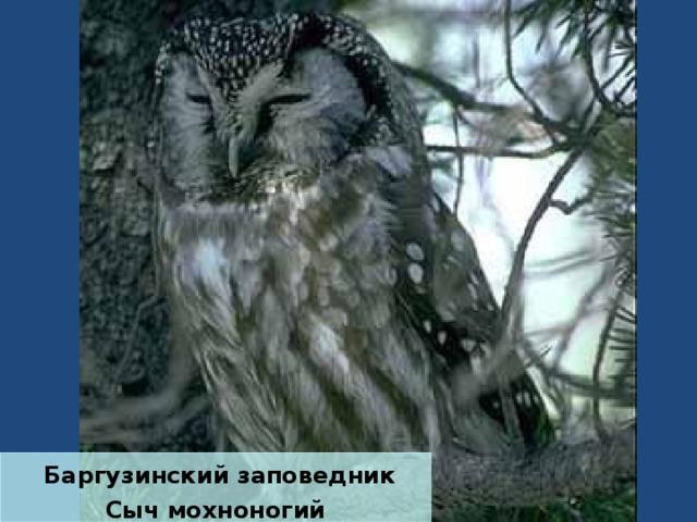 Баргузинский заповедник Сыч мохноногий