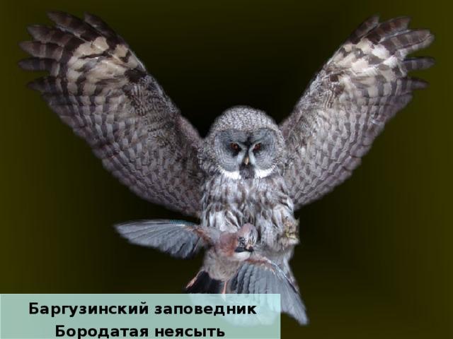 Баргузинский заповедник Бородатая неясыть