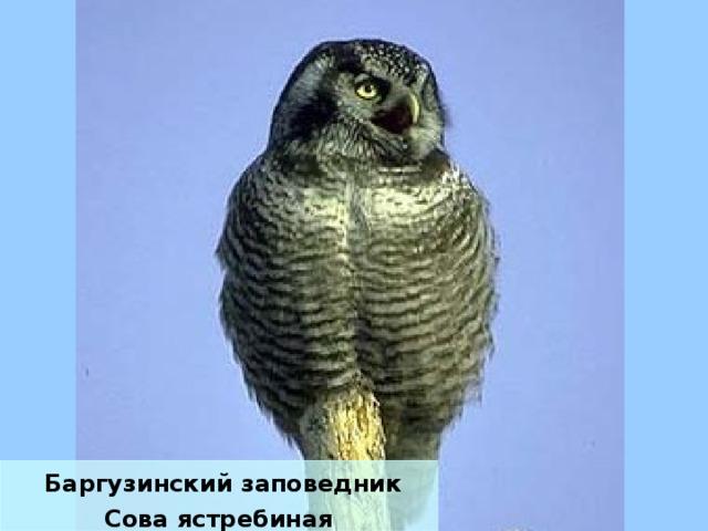 Баргузинский заповедник Сова ястребиная