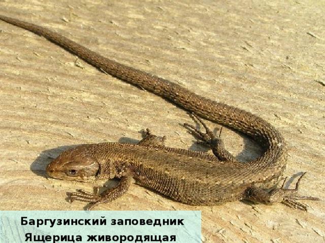 Баргузинский заповедник Ящерица живородящая