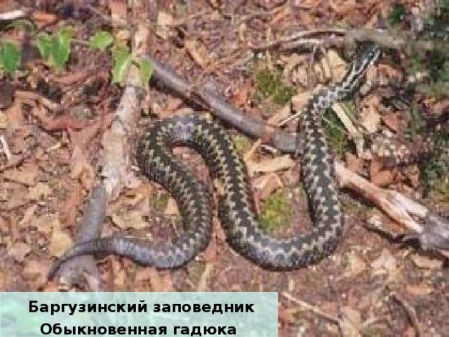Баргузинский заповедник Обыкновенная гадюка