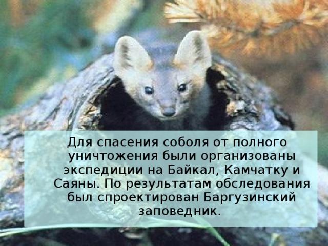 Для спасения соболя от полного уничтожения были организованы экспедиции на Байкал, Камчатку и Саяны. По результатам обследования был спроектирован Баргузинский заповедник.