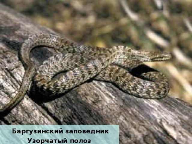 Баргузинский заповедник Узорчатый полоз