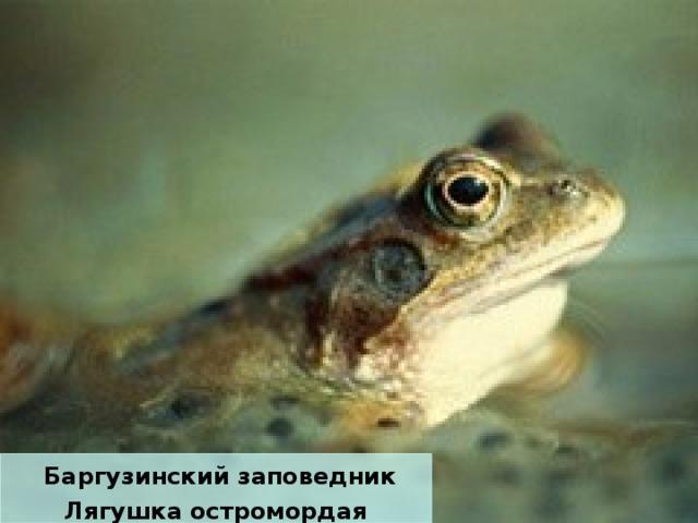 Баргузинский заповедник Лягушка остромордая