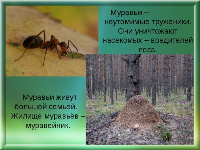 Муравьи – неутомимые труженики. Они уничтожают насекомых – вредителей леса.  Муравьи живут большой семьёй. Жилище муравьёв – муравейник.