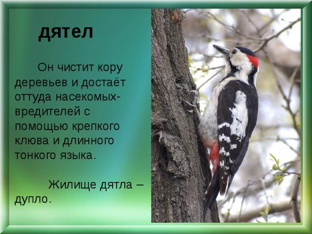 дятел Он чистит кору деревьев и достаёт оттуда насекомых-вредителей с помощью крепкого клюва и длинного тонкого языка. Жилище дятла – дупло.