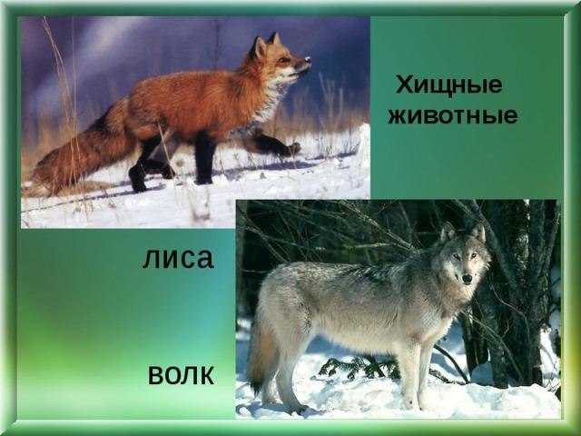 Хищные животные лиса    волк