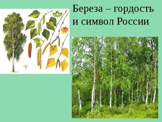 Береза – гордость и символ России