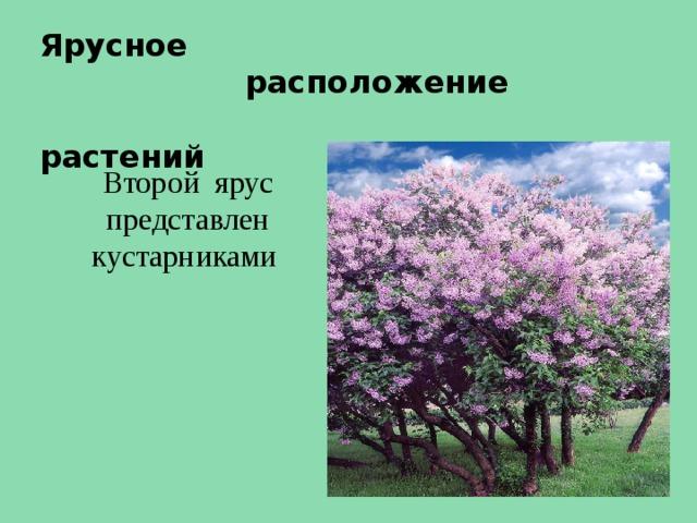Ярусное  расположение  растений Второй ярус представлен кустарниками