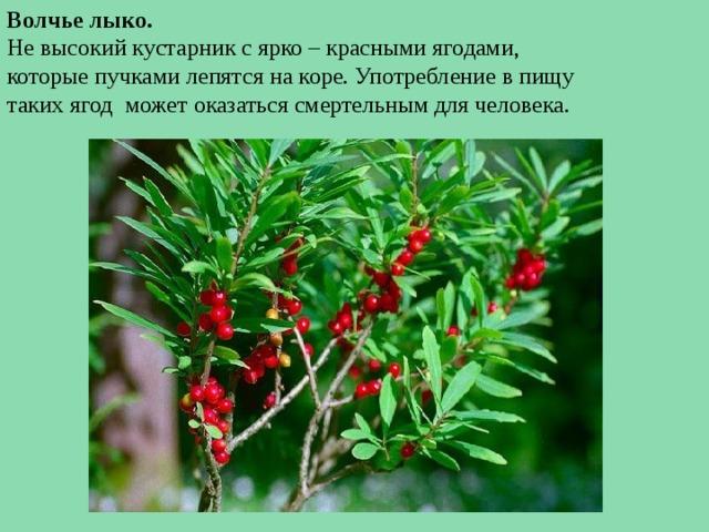 Волчье лыко. Не высокий кустарник с ярко – красными ягодами, которые пучками лепятся на коре. Употребление в пищу таких ягод может оказаться смертельным для человека.