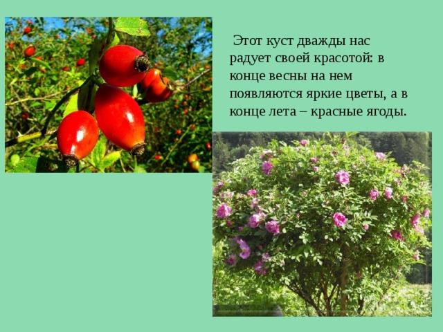 Этот куст дважды нас радует своей красотой: в конце весны на нем появляются яркие цветы, а в конце лета – красные ягоды.