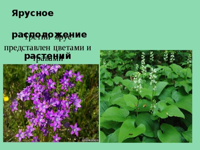 Ярусное  расположение  растений Третий ярус представлен цветами и травами
