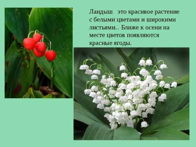 Ландыш это красивое растение с белыми цветами и широкими листьями. . Ближе к осени на месте цветов появляются красные ягоды.